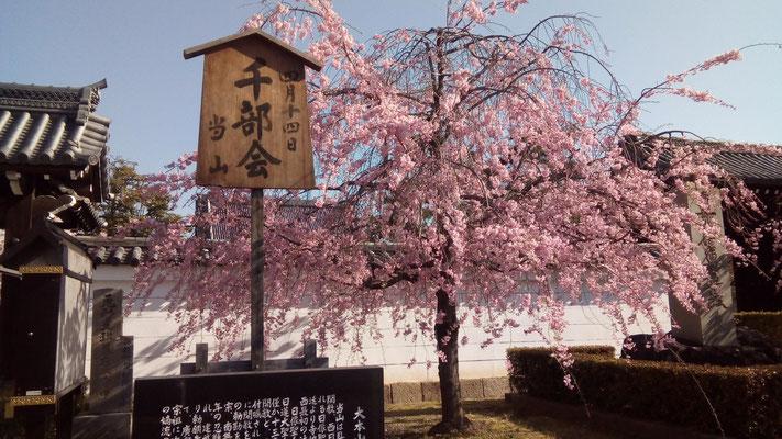 妙顕寺 枝垂れ桜