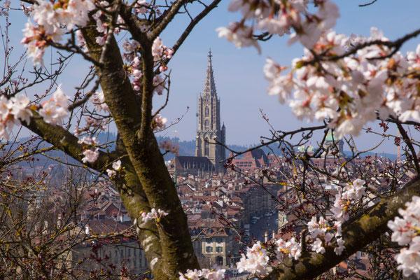 Kirschblüten, Bern, Berner Münster