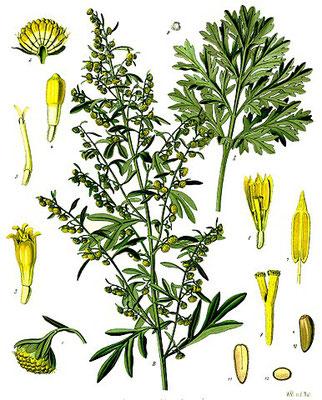 L'absinthe est l'amie du jardinier et a des propriétés médicinales. Elle possède un principe amer : l'absinthine. Elle contient de la thuyone qui est toxique, poison du système nerveux central. Dans l'Apocalypse, le tiers des eaux est changé en absinthe.