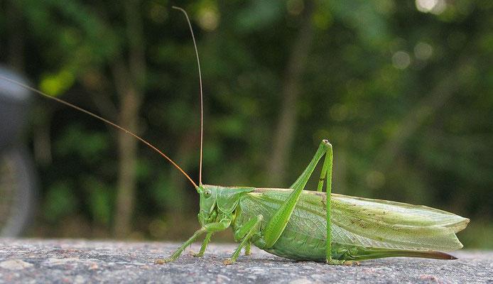 """La Bible parle à plusieurs reprises de la sauterelle, un insecte (6 pattes) de l'ordre des orthoptères, de coloration verte ou jaunâtre. Les ailes le long de son corps (orthoptère signifie «ailes droites"""")."""