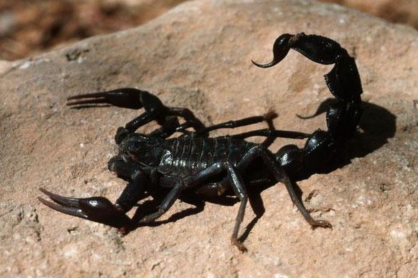 En plus de sortir en très grand nombre pour se répandre sur la terre, le verset précise qu'on  a donné aux sauterelles qui se répandent sur la terre à la 5ème sonnerie de trompette, un pouvoir semblable à celui des scorpions. L'angoisse est terrible !