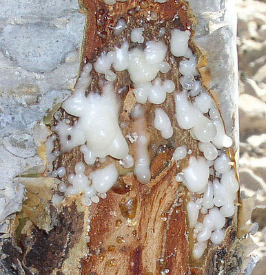 La résine d'encens ou oliban est récoltée en pratiquant une incision dans le tronc ou les branches de l'arbre. Il s'en écoule une sève laiteuse qui coagule au contact de l'air et que l'on ramasse ensuite à la main. Parfum odoriférant pour Jéhovah Dieu.