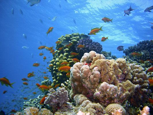 La mer Rouge est l'une des mers les plus chaudes du monde (entre 21 et 25°C à la surface de l'eau). Sa température permet aux 200 espèces coraux de se développer de manière luxuriante et d'accueillir plus de 1000 espèces de poissons, dont 17% endémiques.