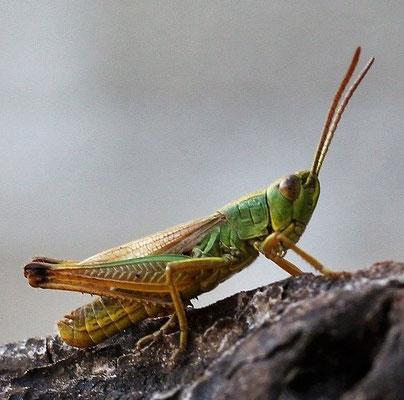 On confond souvent la sauterelle avec le criquet qui porte des antennes courtes et épaisses. Ce sont les criquets, exclusivement herbivores, qui envahissent et ravagent les cultures. La 8ème plaie d'Egypte envoyée par Jéhovah était sans doute des criquets