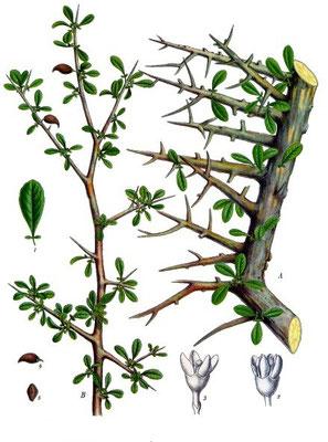 Le stacté provient, lui, de l'arbre à myrrhe ou balsamier (Commiphora myrrha). Il entrerait dans la composition du parfum odoriférant dans le culte de Jéhovah ou Yahvé. Selon les traductions de la Bible, on a le stacté ou le storax.