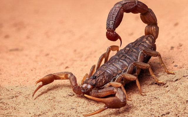Apocalypse 9: des sauterelles piquent comme des scorpions. Contrairement aux orthoptères, les scorpions ne sont pas des insectes, ce sont des arachnides (8 pattes tout comme les araignées, les tiques et les acariens) et un aiguillon venimeux.