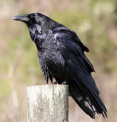 Parmi les oiseaux impurs, nous avons Nous avons des échassiers comme la cigogne et le héron et des corvidés comme le corbeau. Son listés aussi des palmipèdes comme la mouette, le pélican, le cormoran, le plongeon qui se nourrissent de poissons.