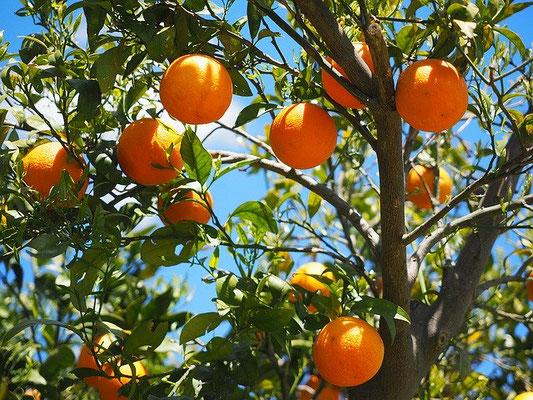 C'est à ses fruits que l'on reconnaît un bon arbre ; c'est à leurs fruits que l'on reconnaîtra les vrais chrétiens. Jésus a bien dit qu'il ne suffit pas de dire Seigneur ! Seigneur !, il ne suffit pas d'être chrétien, il faut accomplir la volonté de Dieu!