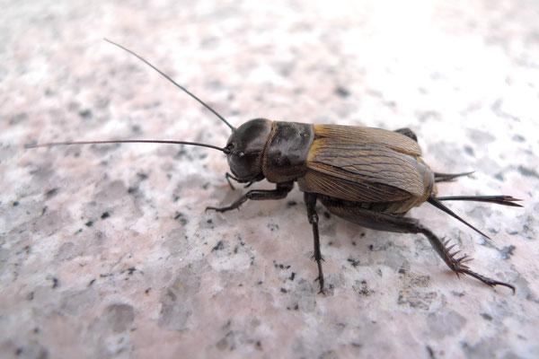 Attention également à ne pas confondre le criquet avec le grillon, omnivore et détritivore, qui se dit « cricket » en anglais.  Ces 3 orthoptères (sauterelle, criquet, grillon) sont des insectes chanteurs comestibles autorisés dans la Loi mosaïque.