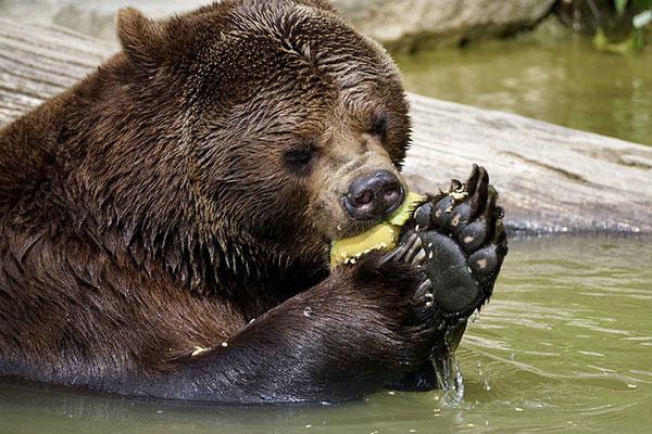 L'ours est un grand mammifère plantigrade, principalement carnivore vivant sur de larges territoires. Il a une fourrure épaisse et hiberne. L'ours n'a pas de prédateur naturel du fait de sa puissance, il peut courir très vite. Il est cité dans la Bible.