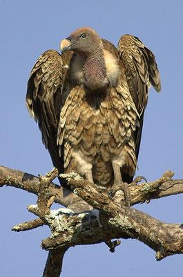 Lévitique 11 et Deutéronome14 énoncent de nombreuses espèces d'oiseaux considérées comme impures et que les Israélites ne pouvaient pas consommer. Parmi ces oiseaux, nous avons de nombreux rapaces.