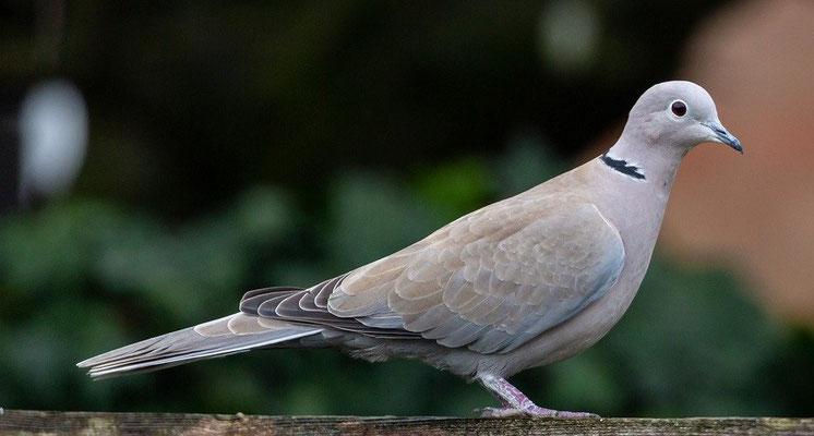 Les oiseaux impurs sont essentiellement des carnassiers, des oiseaux qui se nourrissent de chair crue vivante ou morte, souvent avec une grande voracité. Seuls les tourterelles et les pigeons étaient offerts en holocauste à Jéhovah.