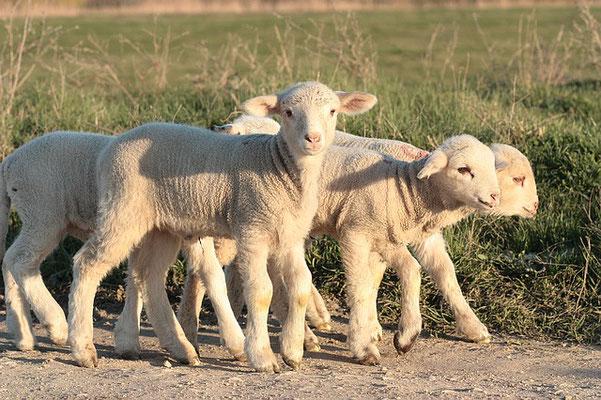 A l'occasion de la fête des Semaines ou Pentecôte ou fête de la Moisson, 7 agneaux d'un an sans défaut sont offerts en holocauste à Jéhovah.