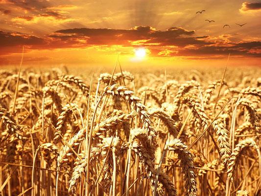 Sous le règne messianique, la terre ne connaîtra plus jamais de famine. Alors les blés couvriront la terre, onduleront sur les cimes. Leur prospérité sera celle du Liban, ils se multiplieront comme l'herbe sur la terre.