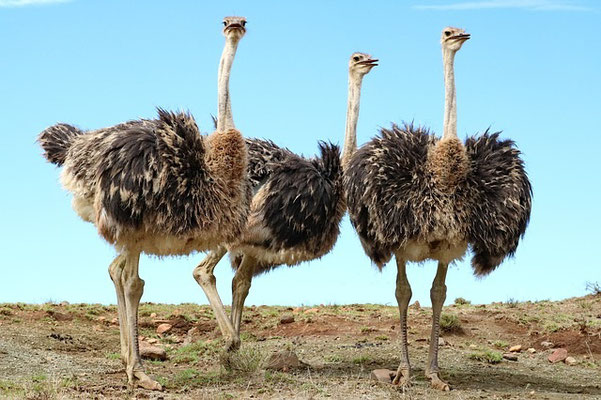 Les autruches et les hiboux sont associés à d'autres animaux qui symbolisent le monde sauvage et inhabité comme les chacals, les hyènes et les chiens sauvages. Les villes détruites et désertes deviennent leur repaire.