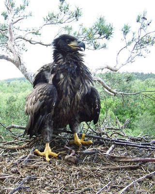 Parmi les oiseaux interdits à la consommations, nous avons de nombreux rapaces : l'aigle, le milan, l'orfraie (Balbuzard pêcheur), les vautours, le hibou, la chouette, l'épervier, l'aigle de mer (pygargue), le Chat-huant (chouette hulotte).