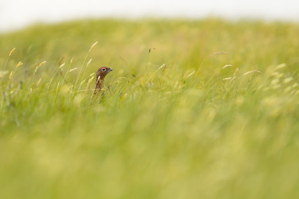 A red grouse hiding among the long summer grasses of  a Yorkshire Dales moorland.