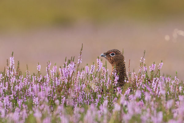A red grouse hiding amongst the purple shoots of heather, an image synonimous with summer in the Yorkshire Dales.
