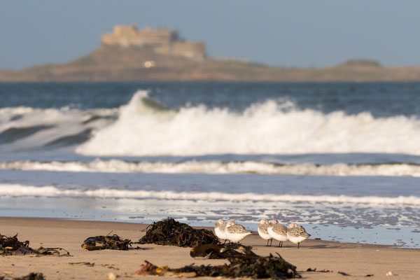 A flock of sanderlings shelter from a beating northerly wind along the coast of Northumberland, Lindisfarne castle offers a picturesque backdrop.