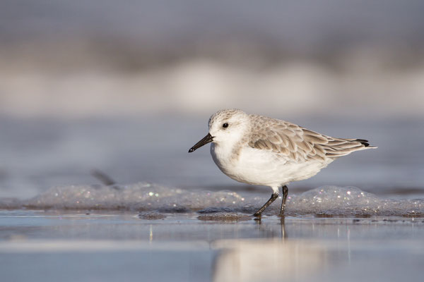 A sanderling rushing along the foreshore of Druridge bay, Northumberland.