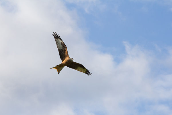 A red kite soaring overhead along the Galloway red kite trail.