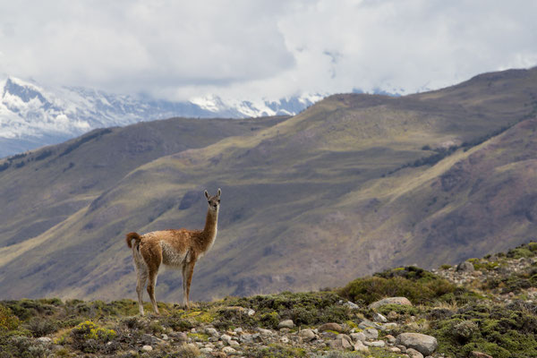 A guanaco posing on a ridge in Los Glaciares national park, Argentinian Patagonia.