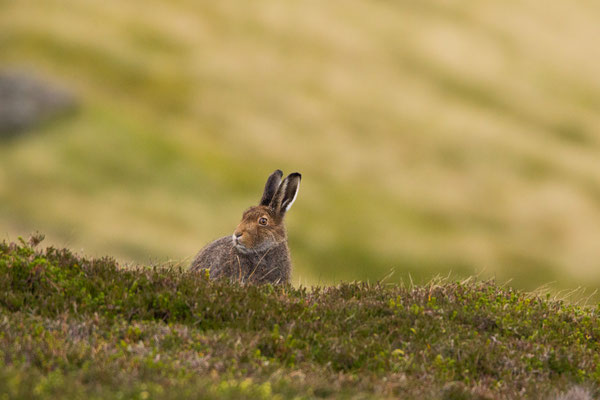 A mountain hare browsing on a Cairngorm summit in its summer coat, northern Scotland.