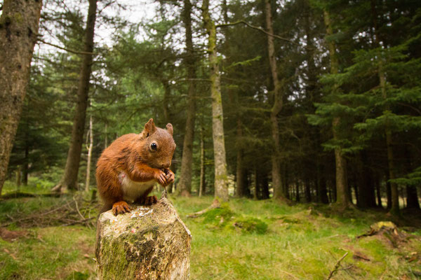A red squirrel perches on a broken stump in one of the Yorkshire Dales' isolated woodlands.