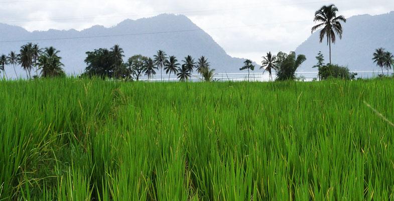 Reisfeld - Sumatra