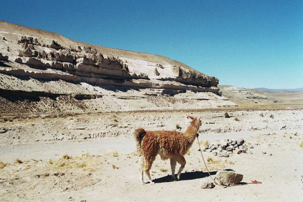Alpaka in Peru