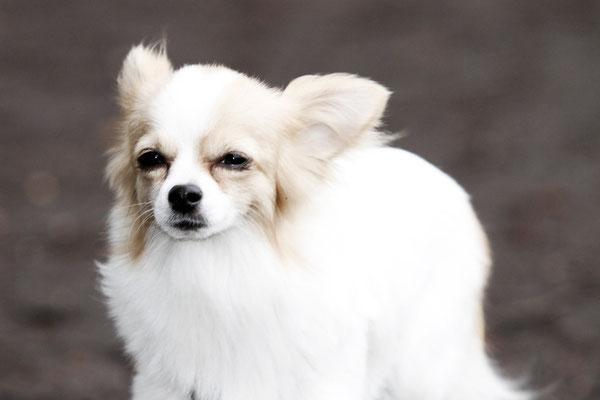 Nora - Chihuahuahündin