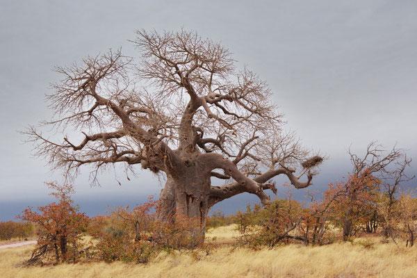 Baobab (Affenbrotbaum)