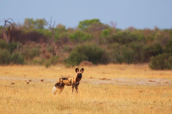 ...dem Afrikanischen Wildhund