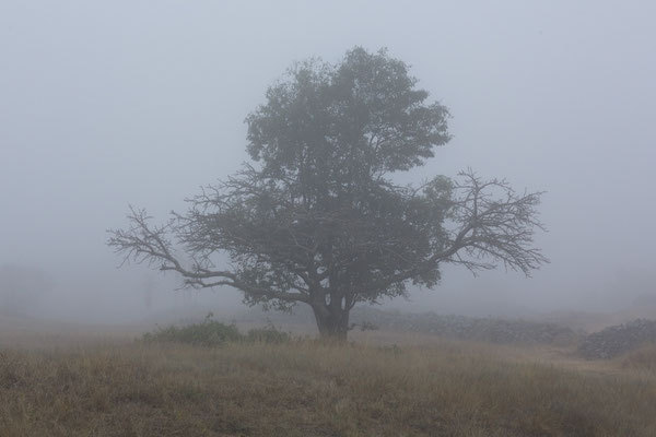 Baum im Vumba (Nebel)