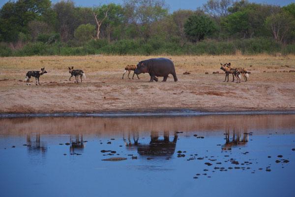 """Flusspferd und Afrikanische Wildhunde wollen """"spielen"""""""
