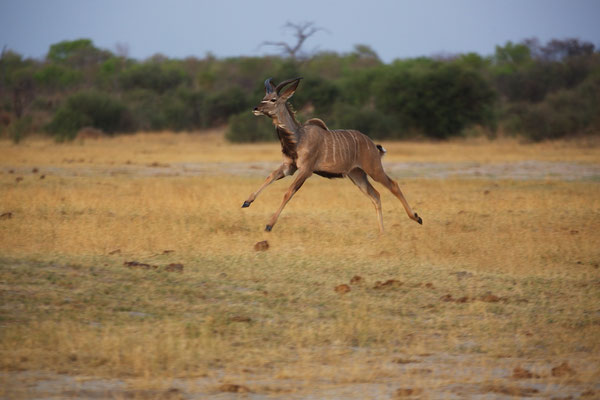 Großer Kudu auf der Flucht vor...