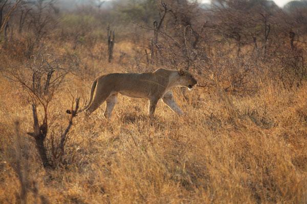 Löwin auf Streifzug (50 Meter vom schlafenden Rudel bis zu einer Erhöhung)