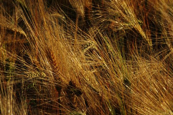 Getreidefeld im Wendland, c Amanda Hasenfusz
