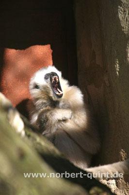 Zoo Osnabrück - Weißwangenschopfgibbon