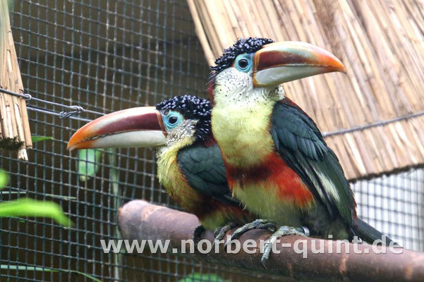 Vogelpark Walsrode - Krauskopfarassari