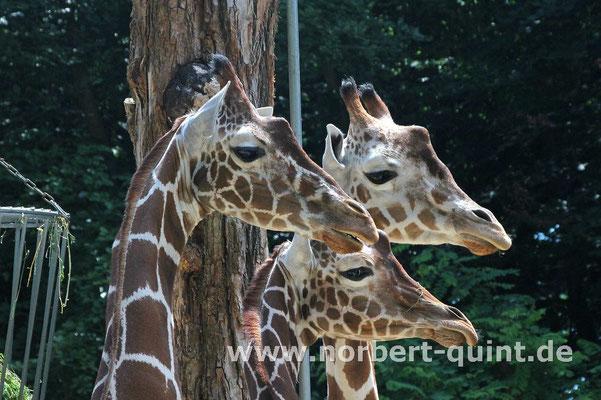 Zoo Osnabrück  (Giraffen)
