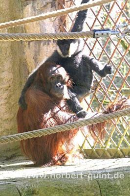 Zoo Osnabrück - Orang-Utan