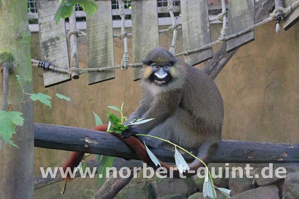 Zoo Gelsenkirchen - Blaumaulmeerkatze