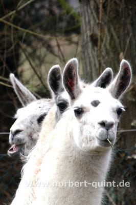 Naturzoo Rheine - Lamas