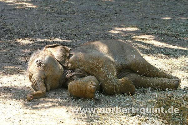 Zoo Osnabrück  (Elefantenbaby)