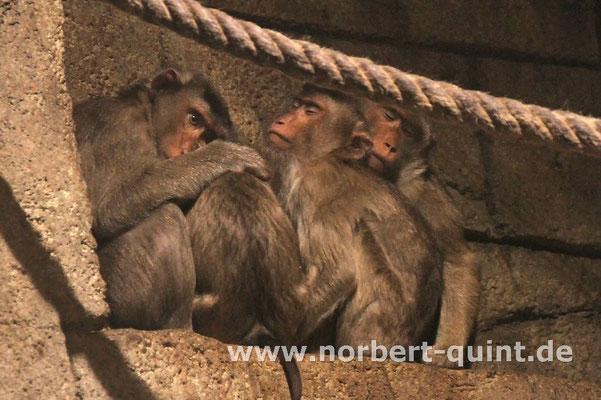 Zoo Osnabrück - Schweinsaffen