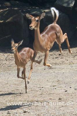 Zoo Osnabrück - Großer Kudu