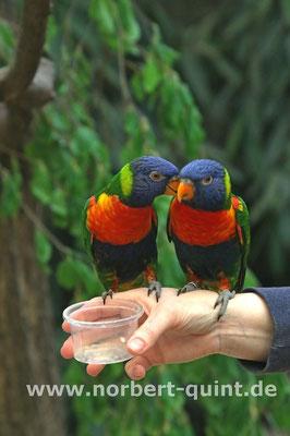 Vogelpark Walsrode - Lori