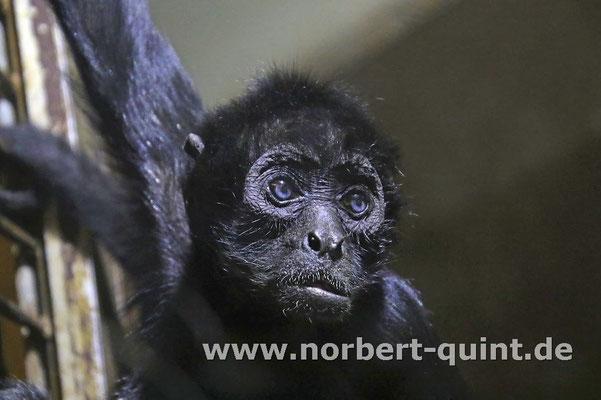 Zoo Osnabrück - Braunkopfklammeraffe