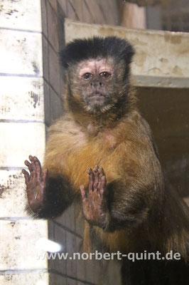 Zoo Osnabrück - Kapuzineraffe